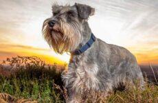 Миниатюрный шнауцер порода собак. Описание, история, характер