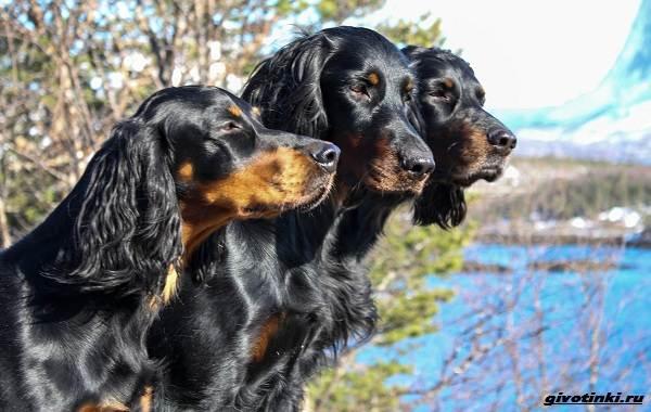 Сеттер-гордон-собака-Описание-особенности-уход-и-содержание-породы-10