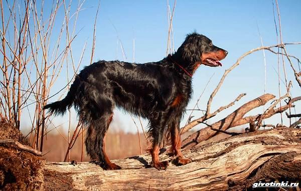 Сеттер-гордон-собака-Описание-особенности-уход-и-содержание-породы-11