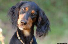Сеттер гордон собака. Описание, особенности, уход и содержание породы