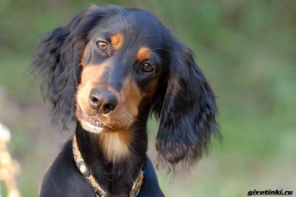 Сеттер-гордон-собака-Описание-особенности-уход-и-содержание-породы-2