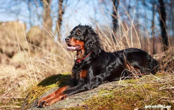 Сеттер-гордон-собака-Описание-особенности-уход-и-содержание-породы-3