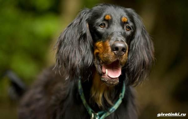 Сеттер-гордон-собака-Описание-особенности-уход-и-содержание-породы-4