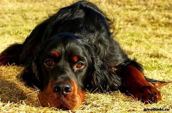 Сеттер-гордон-собака-Описание-особенности-уход-и-содержание-породы-5