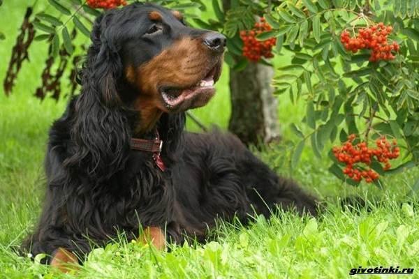 Сеттер-гордон-собака-Описание-особенности-уход-и-содержание-породы-8