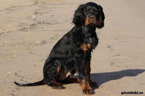 Сеттер-гордон-собака-Описание-особенности-уход-и-содержание-породы-9