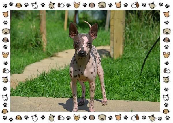 Американский-голый-терьер-порода-собак-Описание-особенности-уход-и-цена-1