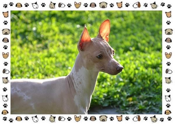 Американский-голый-терьер-порода-собак-Описание-особенности-уход-и-цена-10