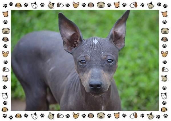 Американский-голый-терьер-порода-собак-Описание-особенности-уход-и-цена-11