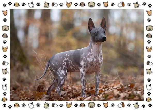 Американский-голый-терьер-порода-собак-Описание-особенности-уход-и-цена-4