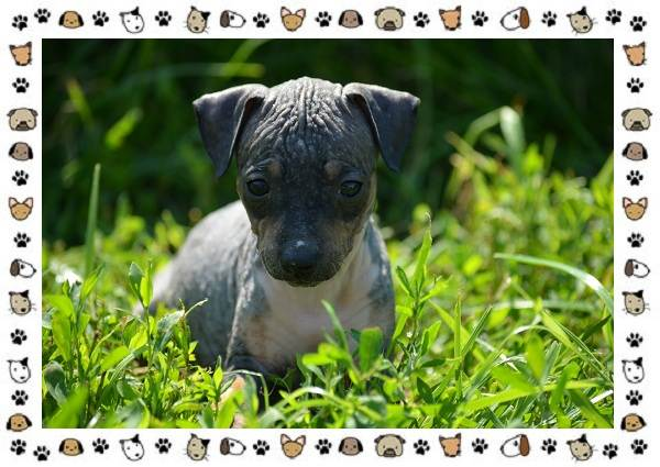 Американский-голый-терьер-порода-собак-Описание-особенности-уход-и-цена-5