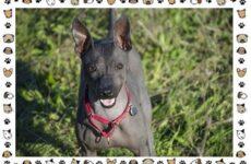 Американский голый терьер порода собак. Описание, особенности, уход и цена