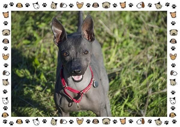 Американский-голый-терьер-порода-собак-Описание-особенности-уход-и-цена-8