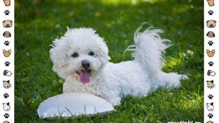 Бишон фризе порода собак. Описание, особенности, уход и цена