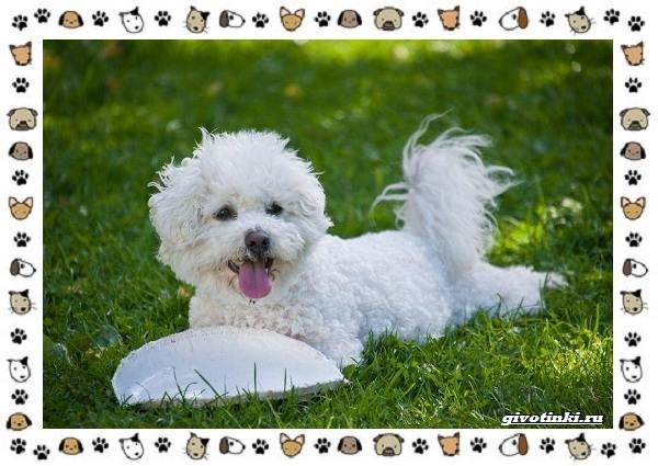 Бишон-фризе-порода-собак-Описание-особенности-уход-и-цена-1