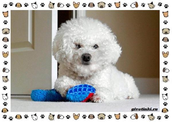 Бишон-фризе-порода-собак-Описание-особенности-уход-и-цена-11