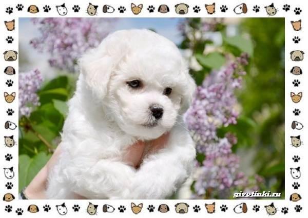 Бишон-фризе-порода-собак-Описание-особенности-уход-и-цена-2