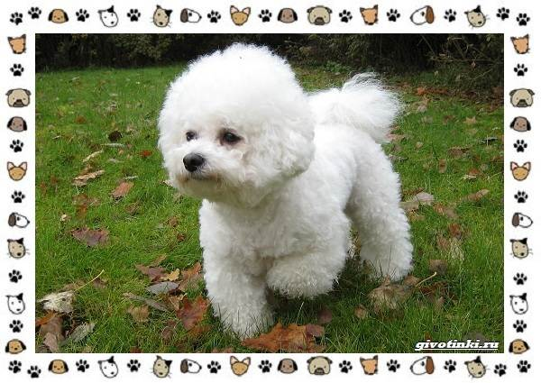 Бишон-фризе-порода-собак-Описание-особенности-уход-и-цена-3