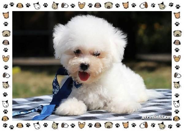 Бишон-фризе-порода-собак-Описание-особенности-уход-и-цена-5