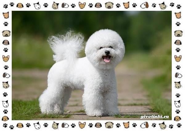 Бишон-фризе-порода-собак-Описание-особенности-уход-и-цена-7