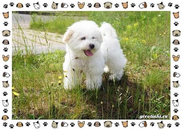 Бишон-фризе-порода-собак-Описание-особенности-уход-и-цена-9