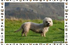 Денди-динмонт-терьер порода собак. Характер, особенности, содержание, уход и цена