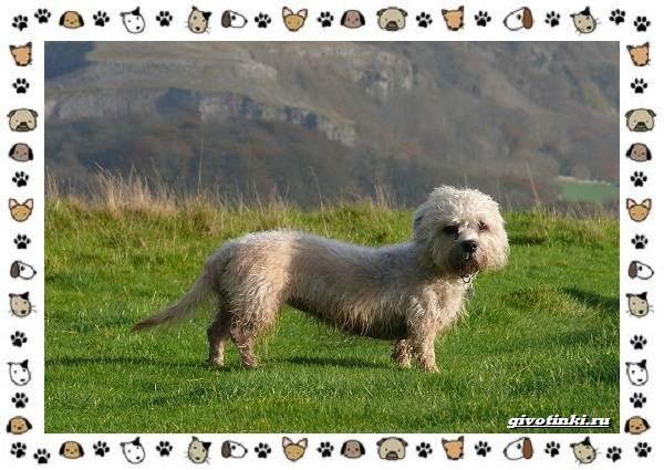 Денди-динмонт-терьер-порода-собак-Характер-особенности-содержание-уход-и-цена-1