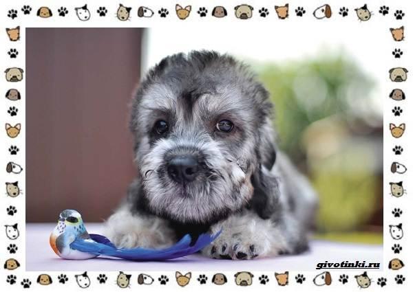 Денди-динмонт-терьер-порода-собак-Характер-особенности-содержание-уход-и-цена-3
