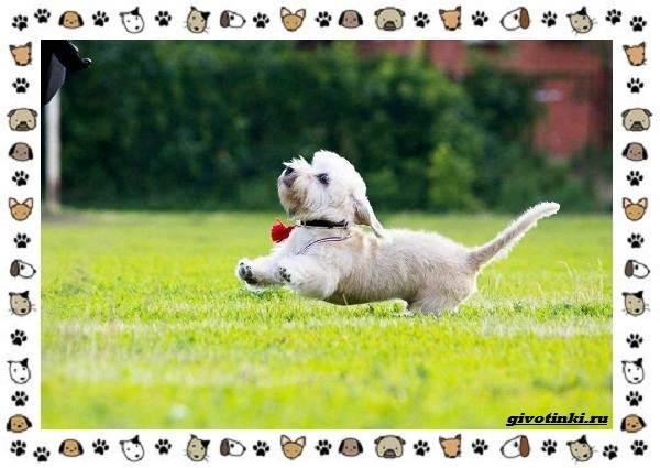 Денди-динмонт-терьер-порода-собак-Характер-особенности-содержание-уход-и-цена-4
