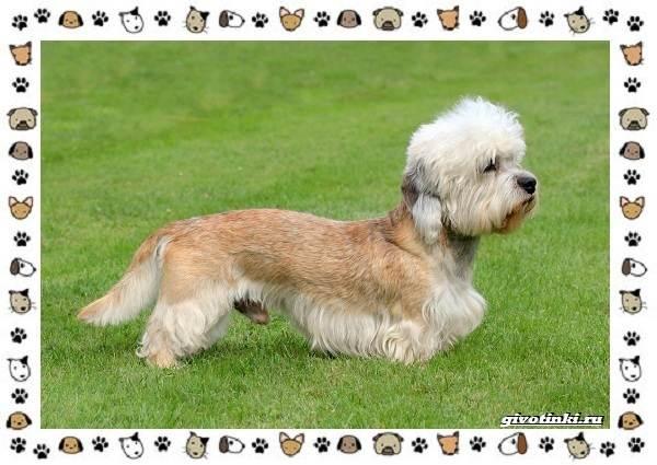 Денди-динмонт-терьер-порода-собак-Характер-особенности-содержание-уход-и-цена-5
