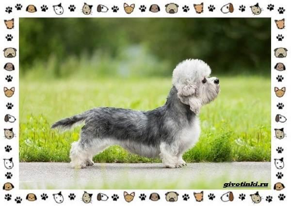 Денди-динмонт-терьер-порода-собак-Характер-особенности-содержание-уход-и-цена-6