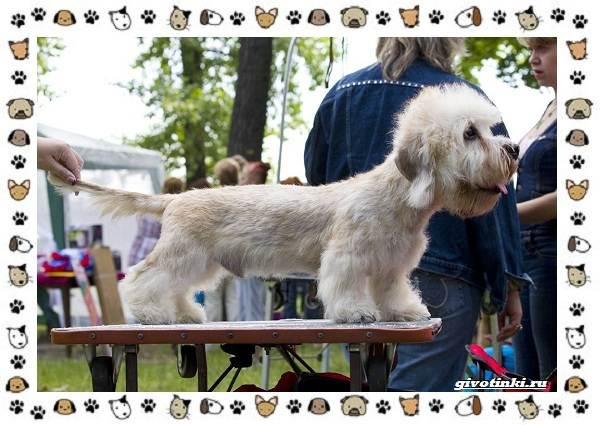 Денди-динмонт-терьер-порода-собак-Характер-особенности-содержание-уход-и-цена-7