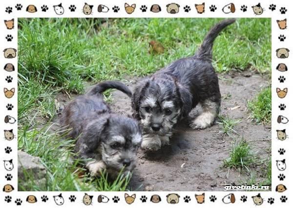 Денди-динмонт-терьер-порода-собак-Характер-особенности-содержание-уход-и-цена-8