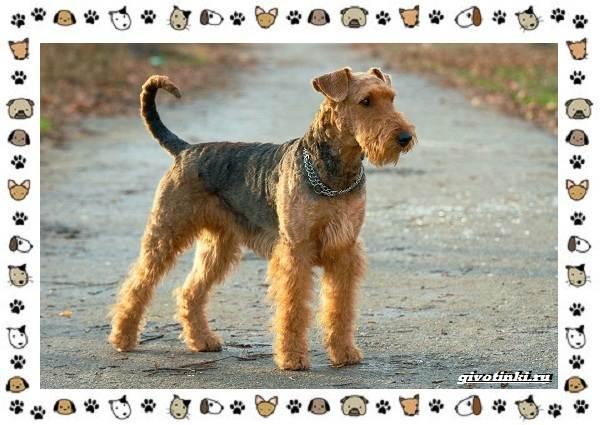 Эрдельтерьер-собака-Описание-особенности-уход-фото-и-цена-породы-1