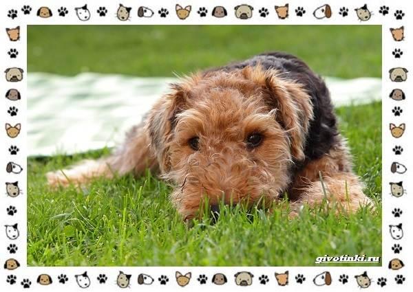 Эрдельтерьер-собака-Описание-особенности-уход-фото-и-цена-породы-2