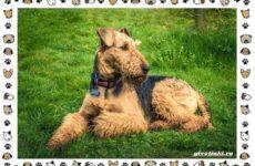 Эрдельтерьер собака. Описание, особенности, уход, фото и цена породы