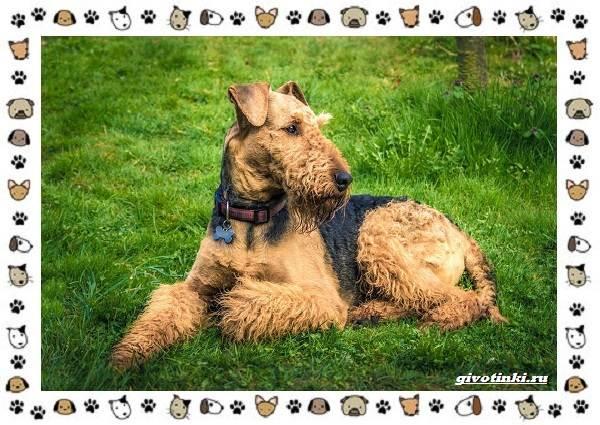 Эрдельтерьер-собака-Описание-особенности-уход-фото-и-цена-породы-3