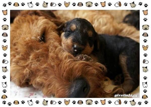 Эрдельтерьер-собака-Описание-особенности-уход-фото-и-цена-породы-4