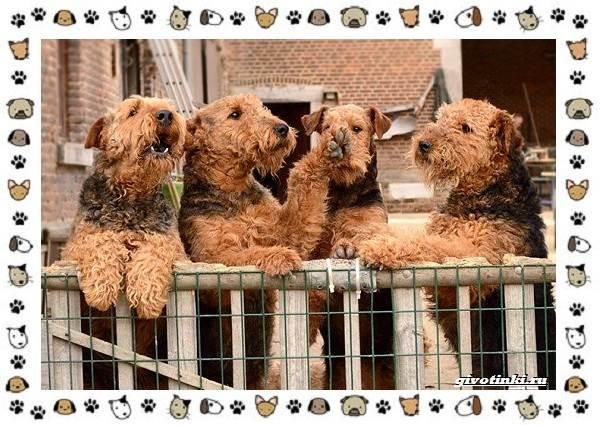Эрдельтерьер-собака-Описание-особенности-уход-фото-и-цена-породы-5