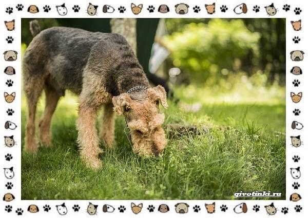 Эрдельтерьер-собака-Описание-особенности-уход-фото-и-цена-породы-6
