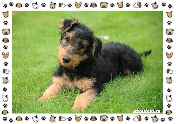 Эрдельтерьер-собака-Описание-особенности-уход-фото-и-цена-породы-7