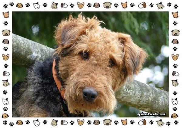 Эрдельтерьер-собака-Описание-особенности-уход-фото-и-цена-породы-8