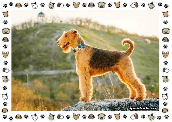 Эрдельтерьер-собака-Описание-особенности-уход-фото-и-цена-породы