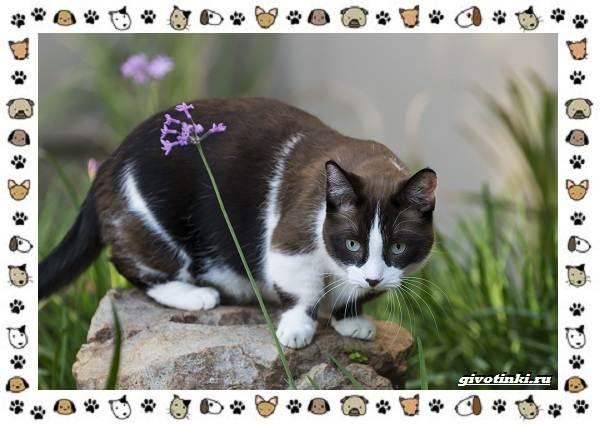 Кошка-манчкин-Описание-особенности-уход-фото-и-цена-породы-1