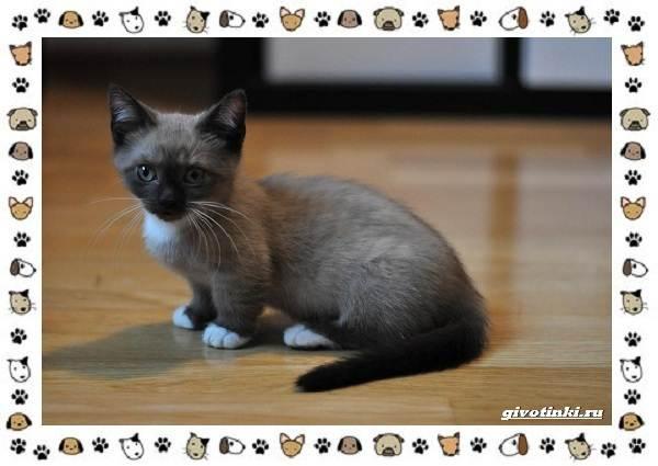 Кошка-манчкин-Описание-особенности-уход-фото-и-цена-породы-10