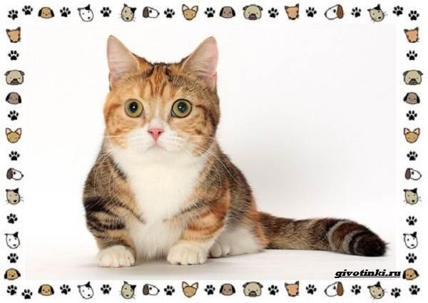 Кошка-манчкин-Описание-особенности-уход-фото-и-цена-породы-2