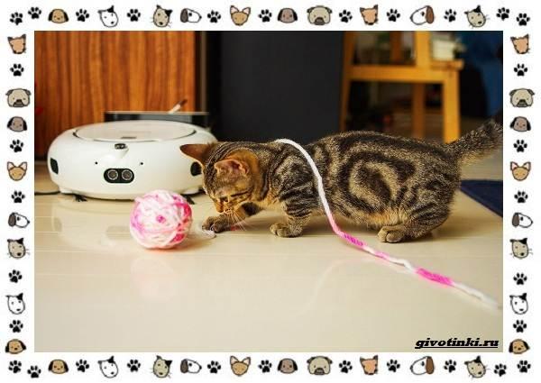 Кошка-манчкин-Описание-особенности-уход-фото-и-цена-породы-3