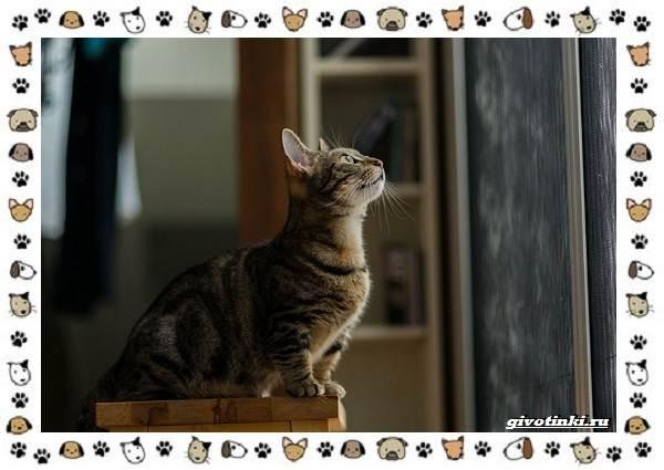 Кошка-манчкин-Описание-особенности-уход-фото-и-цена-породы-4
