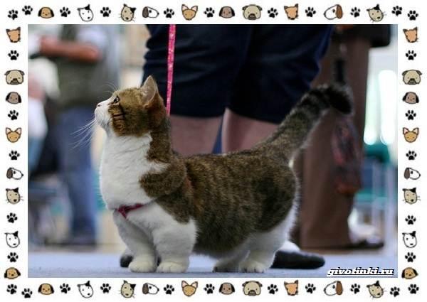 Кошка-манчкин-Описание-особенности-уход-фото-и-цена-породы-5