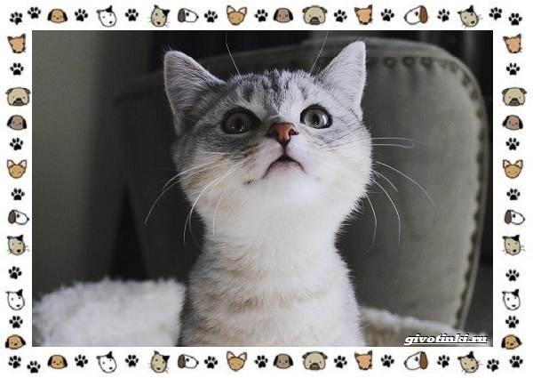 Кошка-манчкин-Описание-особенности-уход-фото-и-цена-породы-6